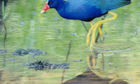 Purple Gallinule Stalking - Paula Dittrick