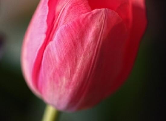 Pink Tulip - Carol Andrews Jensen