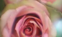 Pink Roses - Carol Andrews Jensen