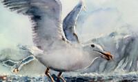 Seagull in Alaska